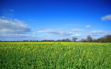 Yellow rapeseed field beginning to flower Stock Photo - 896467