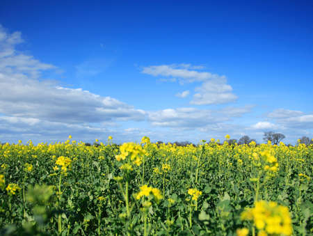 Yellow rapeseed field against a vivid blue sky Stock Photo - 896468
