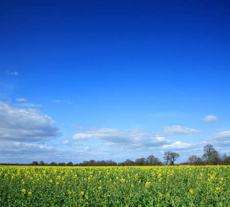 Yellow rapeseed field against a vivid blue sky