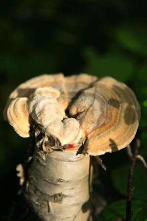 mycelium: Single mushroom on the woodland floor in a shaft of sunlight