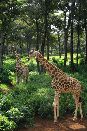 strolling: Two Giraffe strolling at Giraffe Manor Nairobi Kenya  Stock Photo