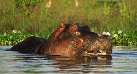 lake naivasha: Hippo in the water of Lake Naivasha Kenya