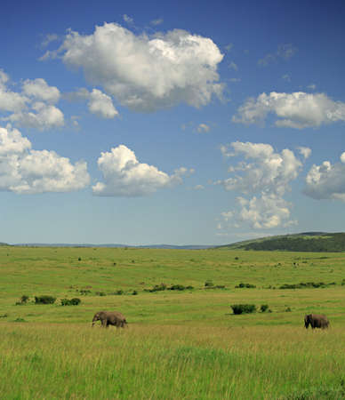 strolling: Two elephants strolling across Masai Mara Kenya Stock Photo