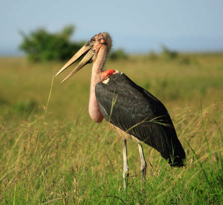 bald ugly: Marabou stork Masai Mara National Park Kenya Stock Photo