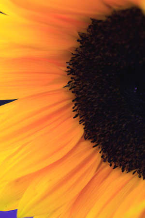 florets: Close up of the florets and petals of a sunflower