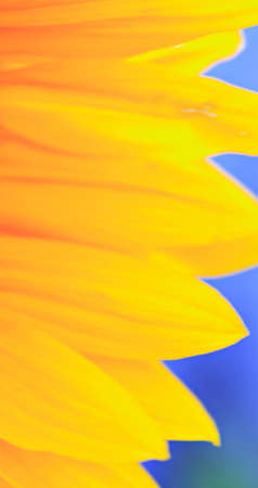 Yellow petals of a sunflower against a blue background photo