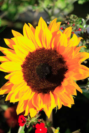 Bright yellow sunflower and tiny red flowers photo