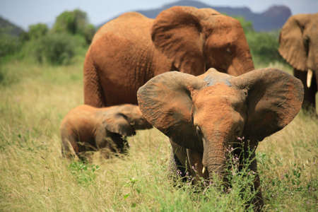flapping: Herd of elephants including young ones in Kenya Africa