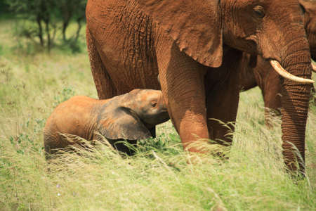quadruped:  elephant feeding from its mother, Kenya Africa