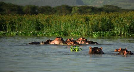 lake naivasha:  of Hippos Lake Naivasha Kenya Africa