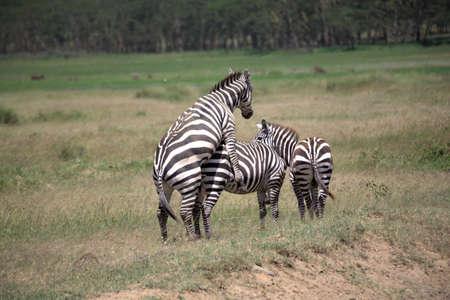 relaciones sexuales: Burchell Cebra de apareamiento en el Masai Mara Foto de archivo