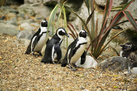 Black footed penguins at London Zoo Stock Photo - 3001771