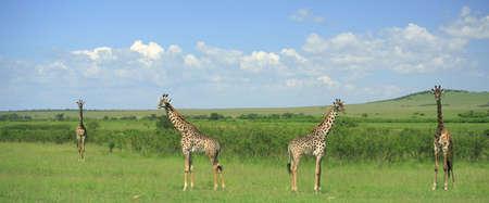 Four symmetrical giraffe Kenya Africa photo
