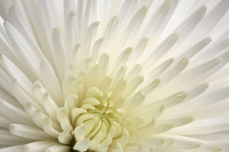 Close up shot of a white Chrysanthemum Stock Photo - 3040339