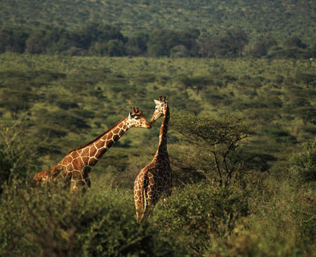 Two giraffe canoodling in Kenya Africa