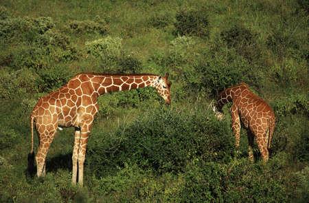 Two giraffe feeding in Samburu Kenya Africa photo