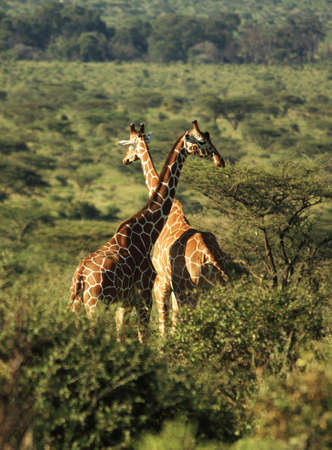 Two Reticulated giraffe in Kenya Africa
