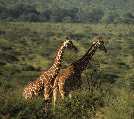 Two African giraffe in Kenya photo