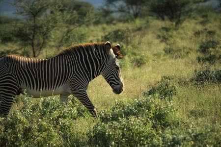 samburu: Zebra in Samburu Kenya Africa Stock Photo