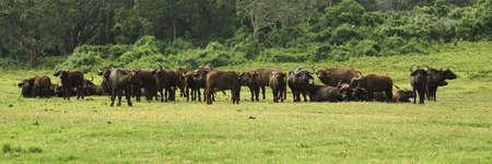 bovidae: Herd of buffalo in Kenya Africa Stock Photo