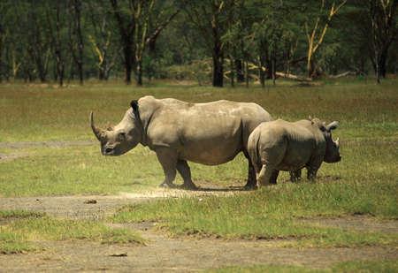 nakuru: Mother and  Rhino Lake Nakuru Kenya Africa Stock Photo