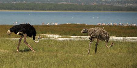 samburu: Male & female ostrich Lake Nakuru Kenya Africa