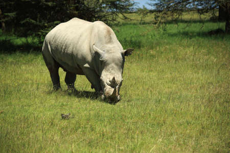 Rhino eating grass in Kenya Africa