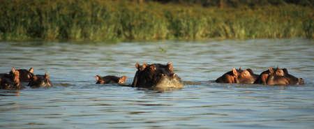 lake naivasha: Hippos surfacing on Lake Naivasha Kenya Africa