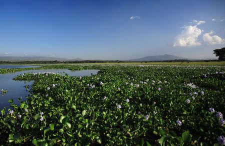 lake naivasha: View over the water hyacinth Lake Naivasha Kenya