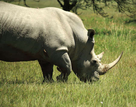 White Rhino with birds sat on him in Kenya Africa