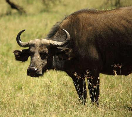 Single buffalo covered in flies in Kenya Africa photo