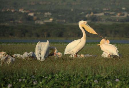 lake naivasha: Pelicans feeding on Lake Naivasha Kenya Africa