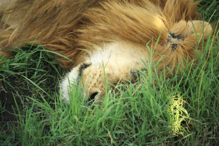 quadruped: A sleeping lion in the grass in Kenya Africa Stock Photo