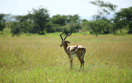 samburu: Single impala stood in the grass in Kenya Africa