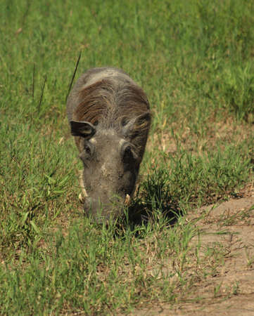 A grazing warthog in Kenya Africa Stock Photo - 3302374