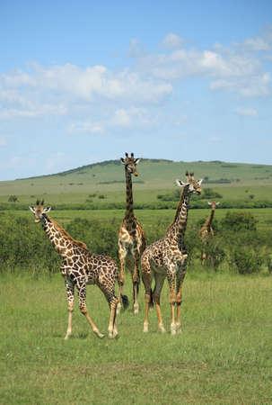 Three giraffe stood together in Kenya Africa photo