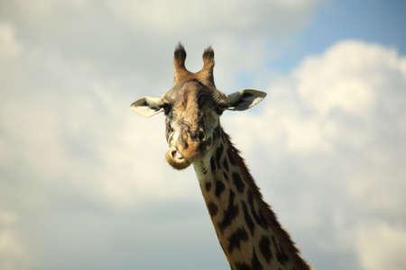 Giraffe chewing its food Kenya Africa photo