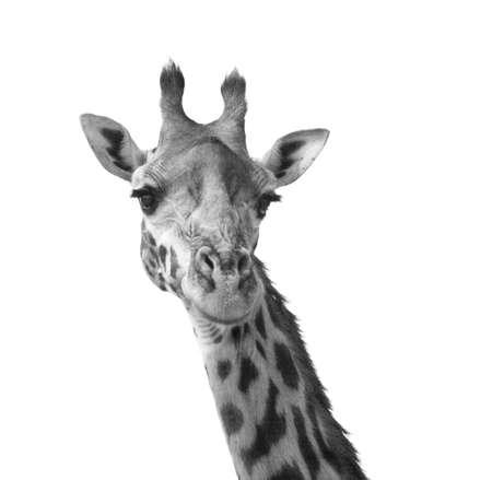 Black and white giraffe portrait Kenya Africa Stock Photo - 3350822