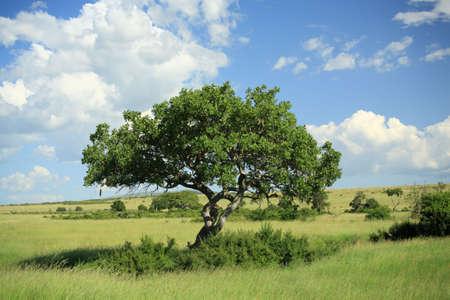 Kigelia pinnata tree also known as the sausage tree Kenya Africa Stock Photo