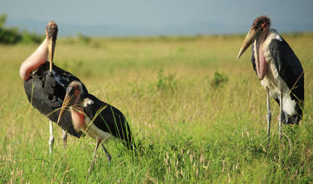 of Marabou stork in Kenya Africa photo