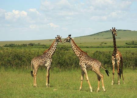 safari game drive: Tre africani giraffa Masai Mara in Kenya Africa