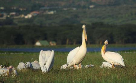 lake naivasha: Pelicans on Lake Naivasha Kenya Africa