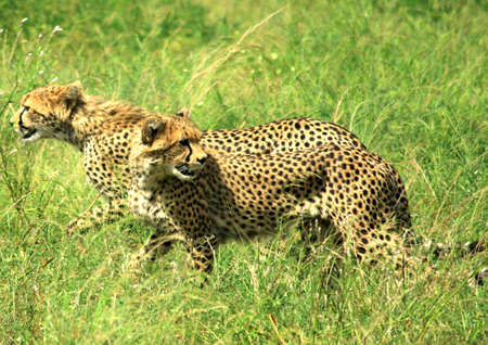Two cheetahs running through the grass Samburu National Park Kenya photo