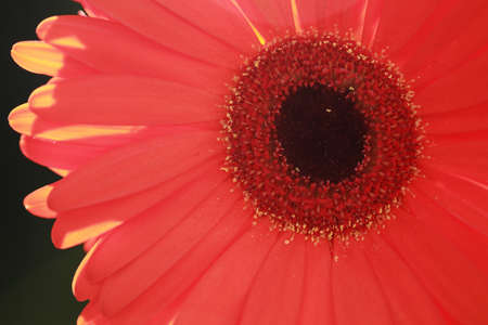 Single sunlit red gerbera flower photo
