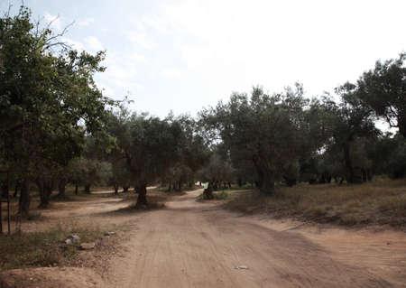 skiathos: Through the olive groves to Banana beach, Skiathos, Greece Stock Photo