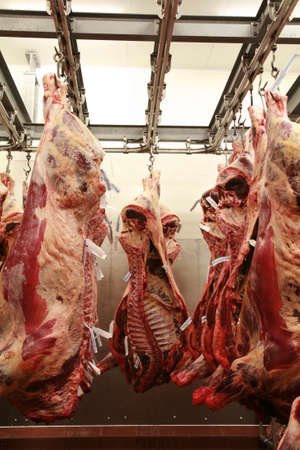 maturing: Cattle carcass maturing in the refrigerator of an abattoir