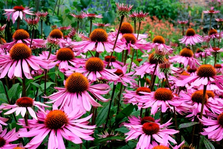 Purple and orange perennial flowers Echinacea Purpurea Maxima in a garden   Stock Photo