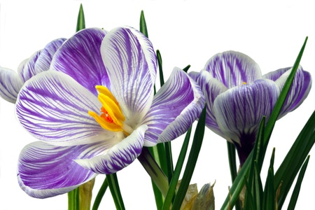 Stripy blue and white crocus blooms isolated on white Stock Photo - 16504901