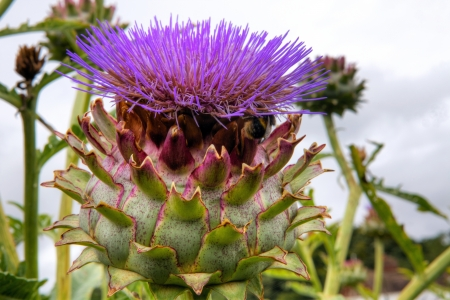 Purple artichoke, cardoon  Cynara cardunculus  growing in a garden