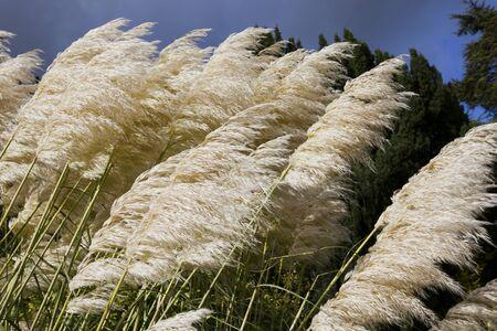 cane plumes: Pampas grass  Cortaderia selloana  close-up Stock Photo